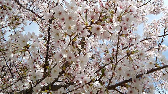 静岡市のサクラ開花予想2013