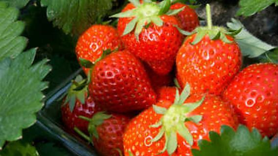 便秘にも良いイチゴは美味しい健康食品