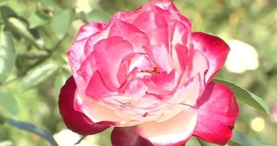河津バガテル公園で秋バラが見頃、10月初旬~11月中旬