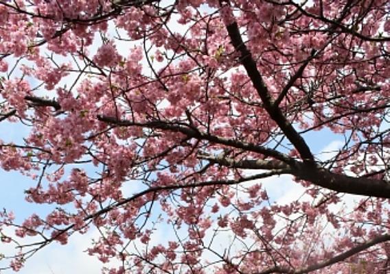 河津桜の開花、見頃